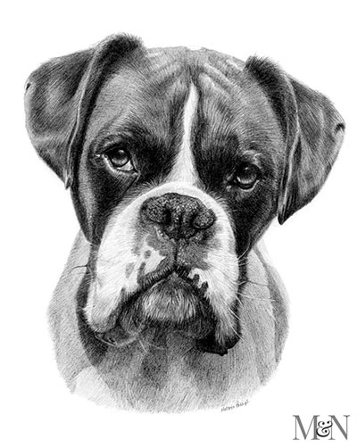 boxer pet portraits