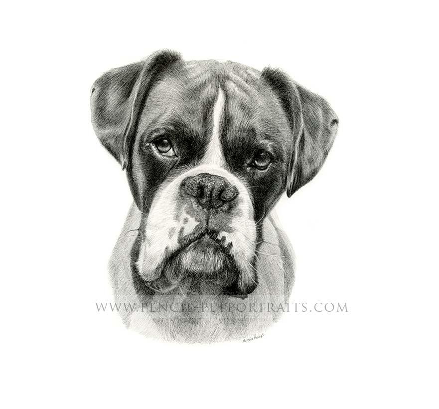 Boxer pencil pet portraits by melanie phillips