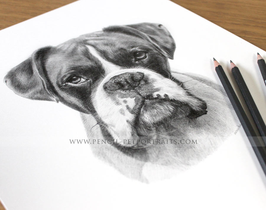pet portraits in pencil by melanie phillips of a boxer dog