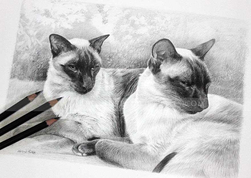 siamese cat pet portraits photos