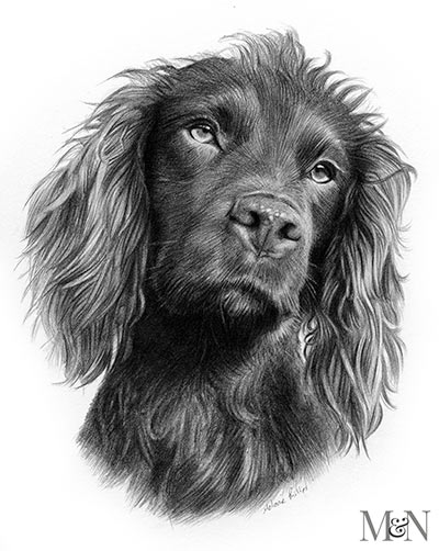 Cocker Spaniel Pencil Portraits