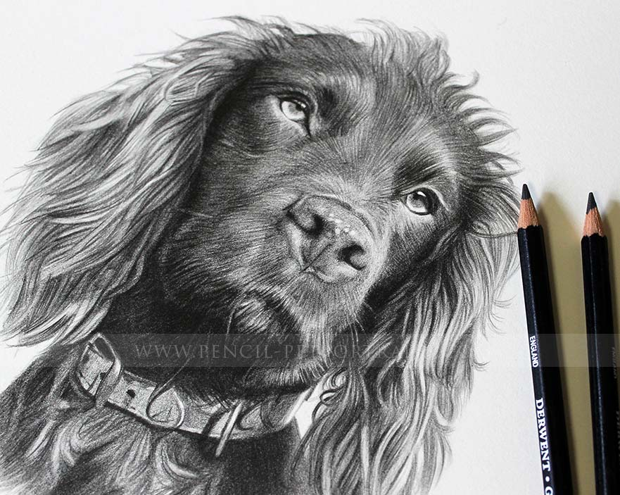 Cocker Spaniel Pet Portraits reference photo - wet ears