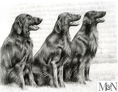 flat coated retriever pencil portraits