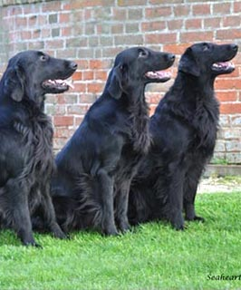 reference photos of Flat coated retrievers