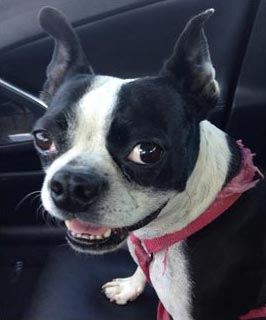 Boston terrier reference photos