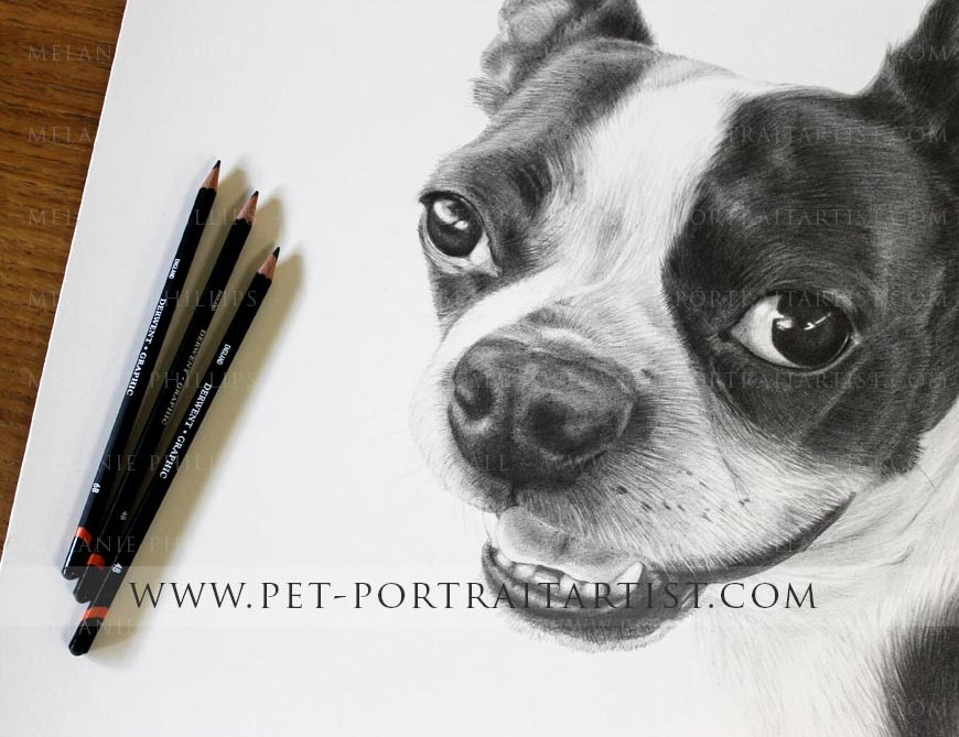 Pet portrait of a boston terrier