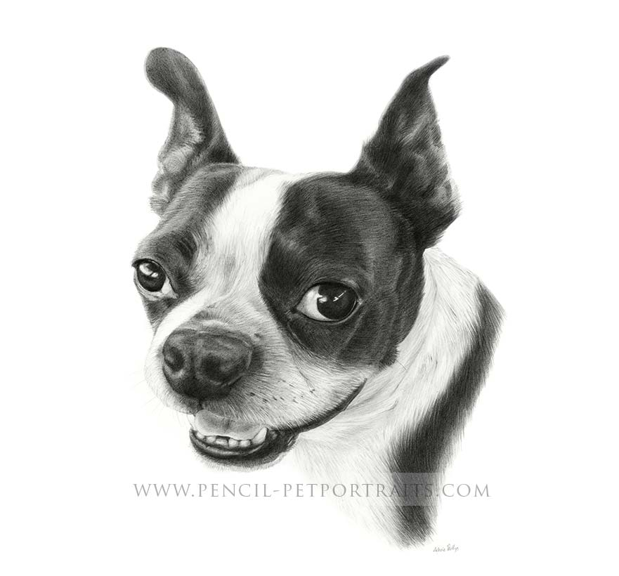 boston terrier pet portraits