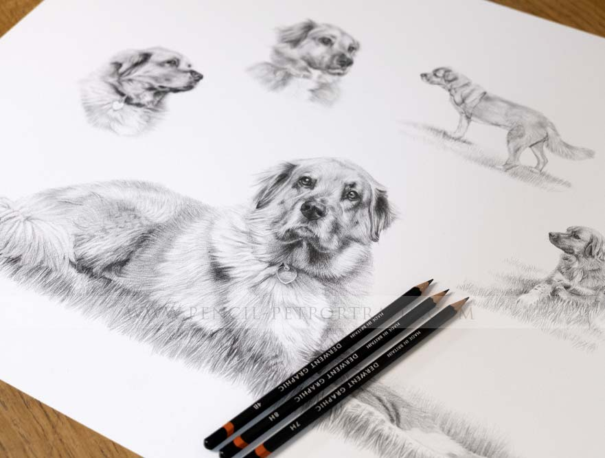 Reference photo for Golden Retriever Pet Portrait