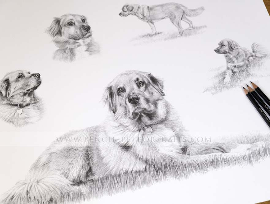 Golden Retriever Pet Portraits
