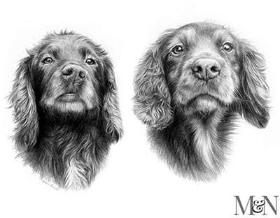 spaniel pet portraits in pencil
