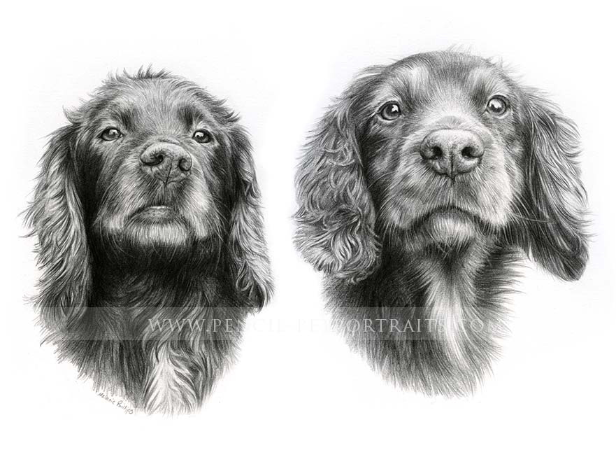 Springer Spaniel Pet Portraits