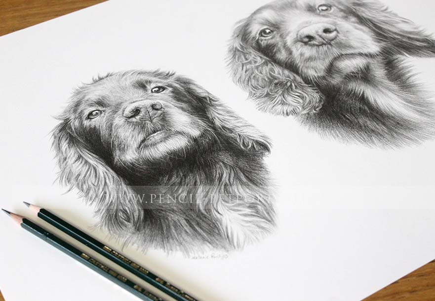Springer Spaniel reference photos for a portrait